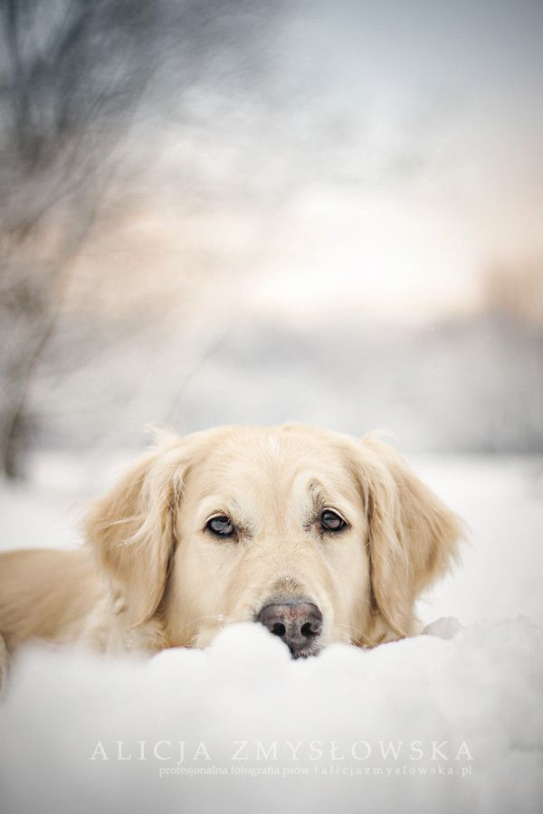 Golden Retriever In Snow Winter Winter Wonderland Snow Dogs