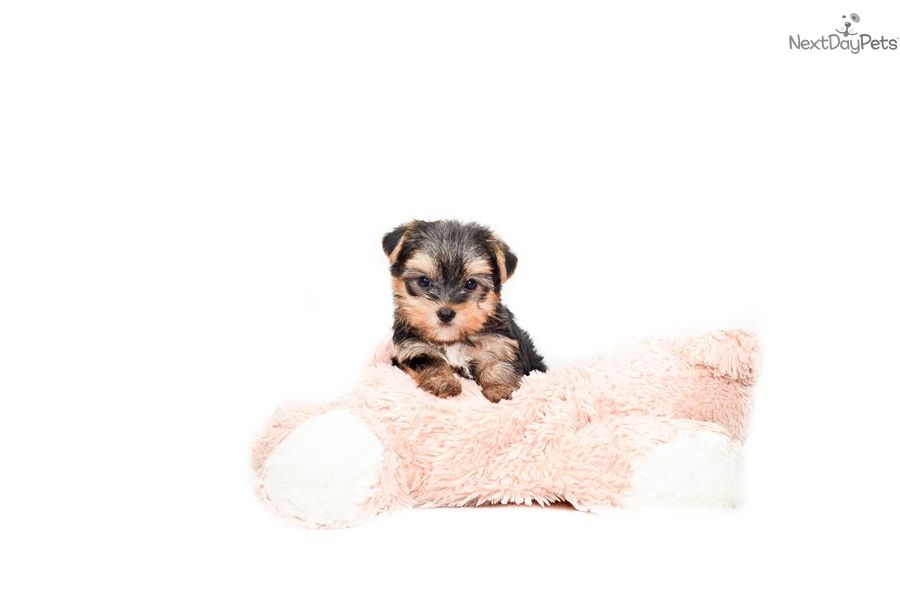 Yorkshire Terrier Yorkie Puppy For Sale Near Columbus Ohio Ad0953c6 37b1 Yorkie Puppy Yorkie Puppy For Sale