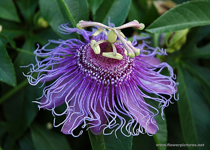 Passionflower Purple Passion Flower Amazing Flowers