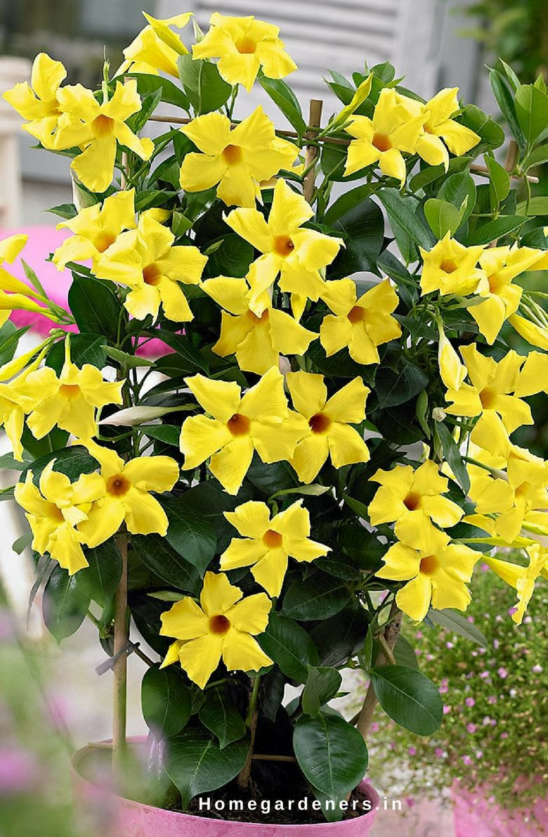 Lantana Kopen Rock Trumpet Plant How To Care Mandevilla Vine Plant In Your