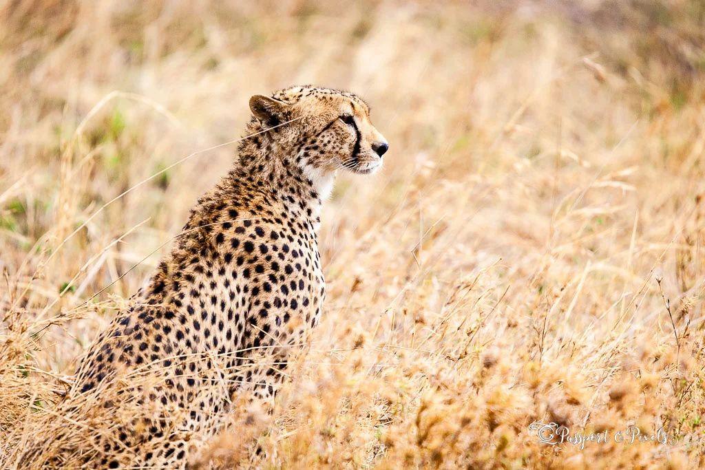 Animals on safari: Cheetah, Serengeti, Tanzania  #safari #animals #wildlifephotography #tanzania #eastafrica #closeup