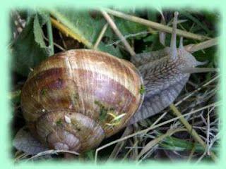 Cría de caracoles