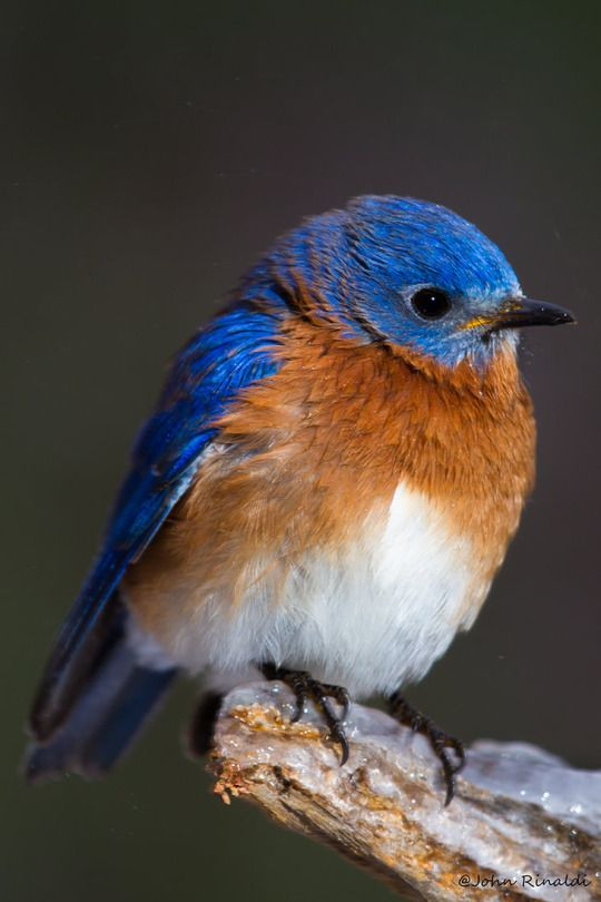 Eastern Bluebird resting on an icy branch
