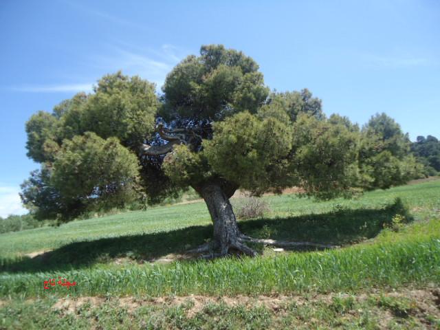 شجرة صنوبر معمرة Plants Tree