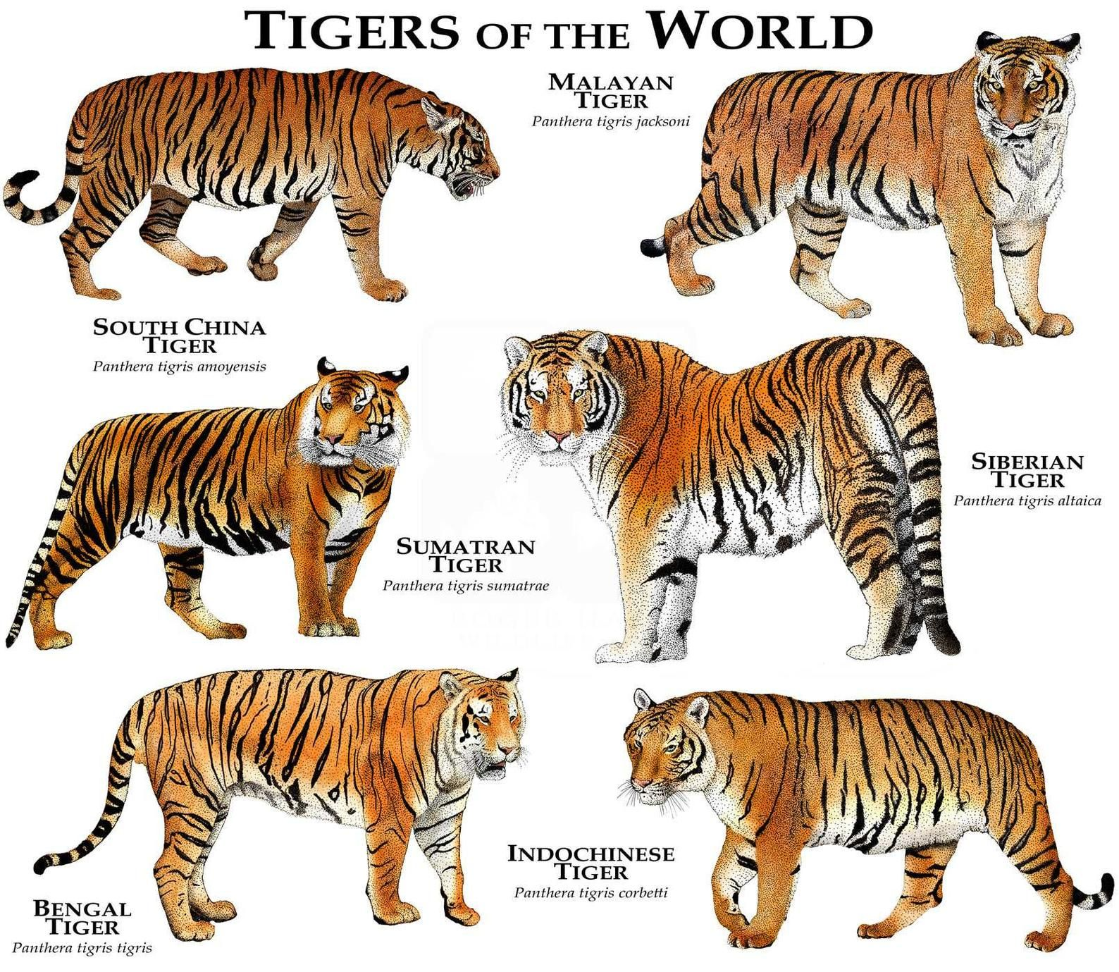 Tigers of the World Poster Print in 2020 (With images