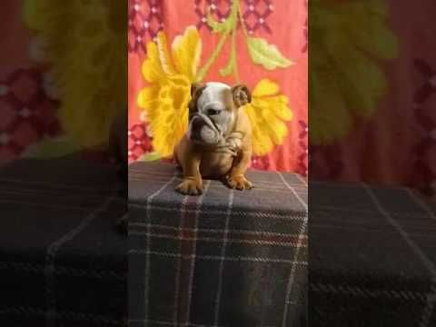 I Have English Bulldog Puppies For Sale 9711272629 In India At