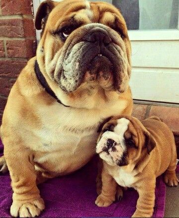 Mother And Son Bulldog Puppies Dog Best Friend Dog Pictures