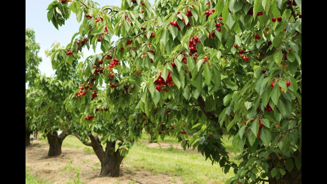 Image Result For Peelu Ka Phal Shade Tolerant Plants Cherry Tree Varieties Types Of Cherries