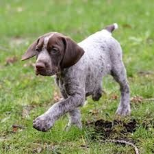 Image Result For English Sprointer Short Haired Pointer German