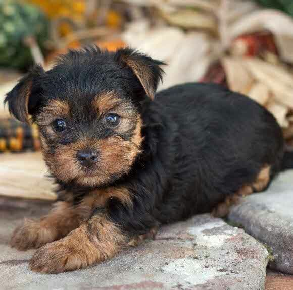 What a face...this yorkie pup looks like a little rottie ...