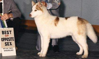 Piebald Siberian Husky Siberian Husky Husky Husky Dogs