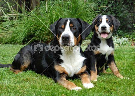 Pin Von Marcia Ricketson Auf Awwwwwwww Sennenhund Hunderassen