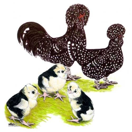 Where To Buy Mottled Houdan Chickens