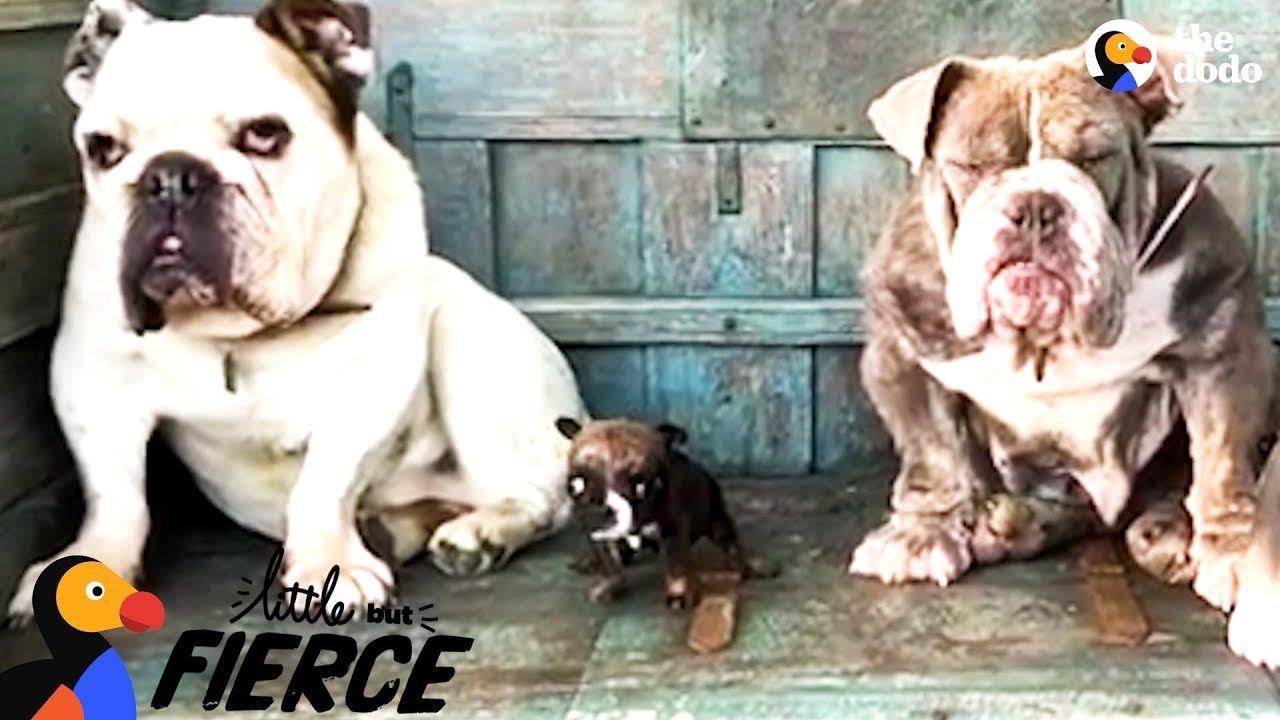 Teeny Tiny Bulldog Won T Stop Talking The Dodo Little But Fierce