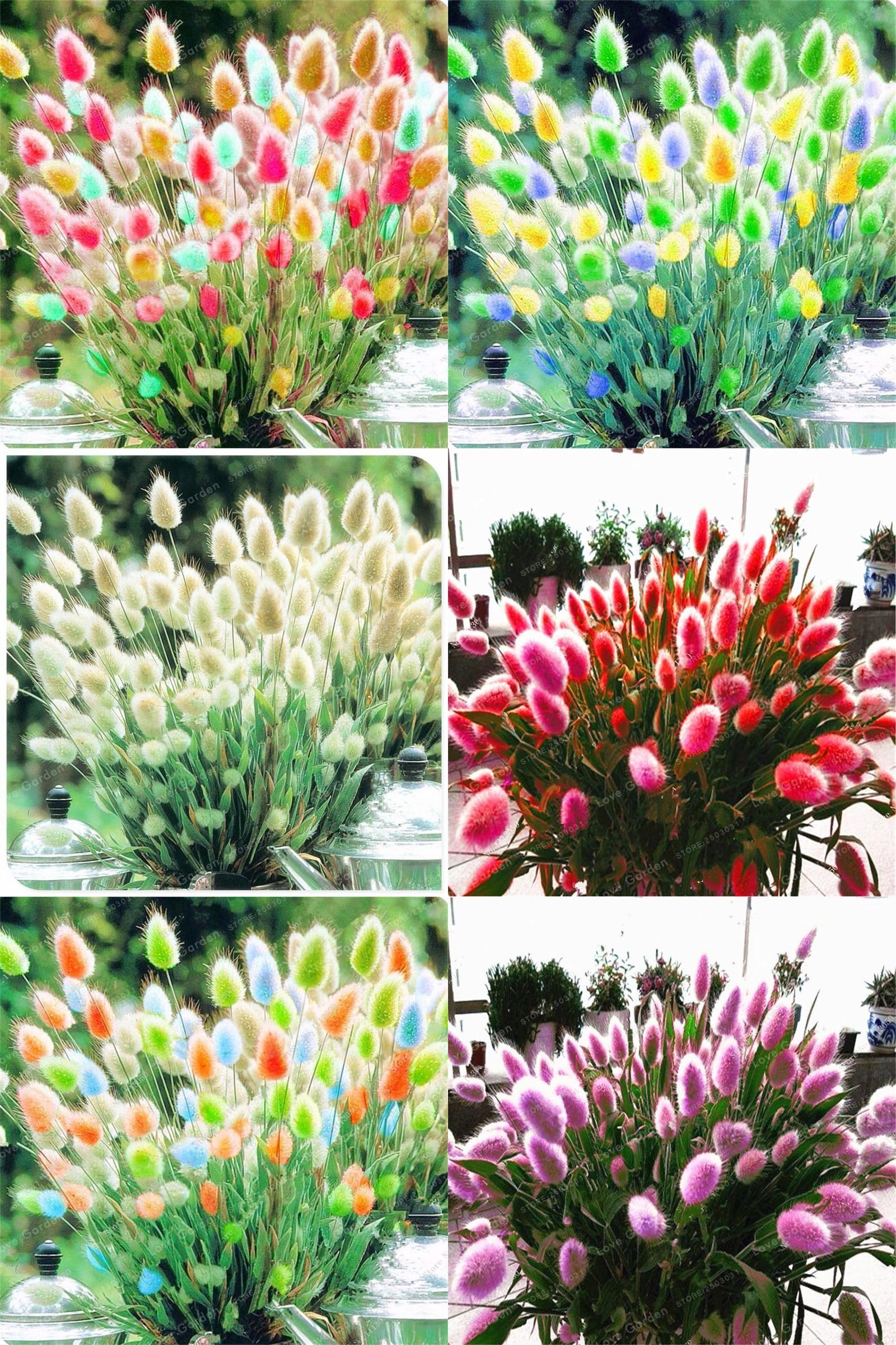 Rabbit Tail Grass Seeds Bonsai Ornamental Garden Plants Flower Rabbit Tail Grass