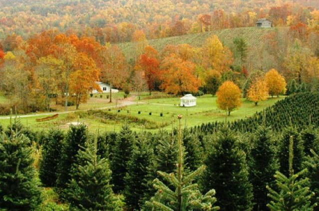 The Most Popular Types Of Christmas Trees Tree Identification Tree Farms Christmas Tree Farm