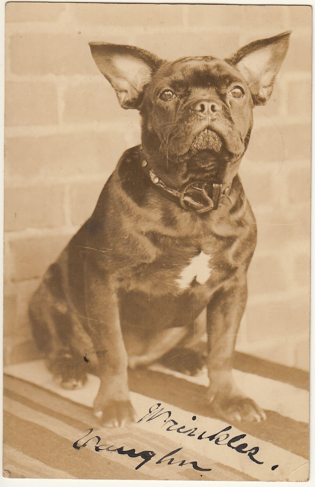 Wrinkles Vaughn New York, about 1910. Bulldog, French