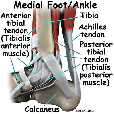 A Patient\'s Guide to Ankle Anatomy | Houston Methodist | Ankle ...