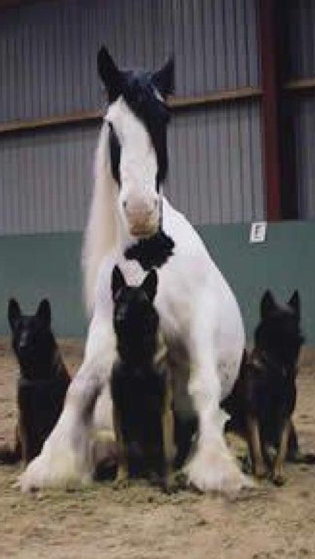 Beautiful German Shepards & Horse... #germanshepards Beautiful German Shepards & Horse... #germanshepards