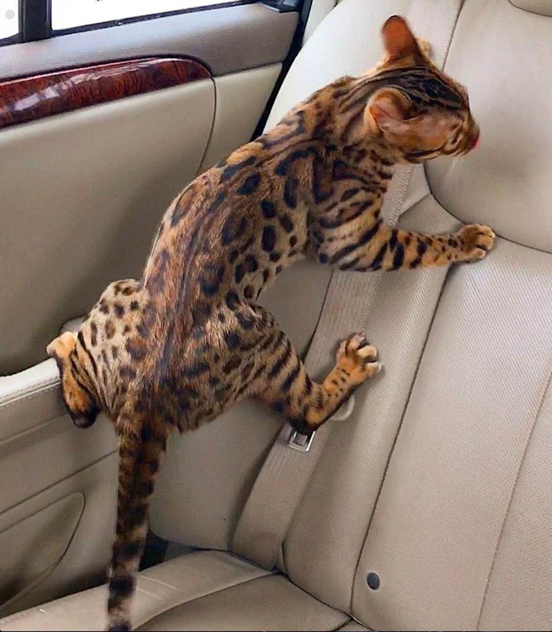 Jaspur Acting Like A Monkey By Jaspurbengalkitty Tap The Link For An Awesome Selection Cat And Kitten Products For Your F Kittens Cutest Bengal Cat Cats