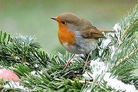 Robin, Erithacus Rubecula, Bird, Hiver