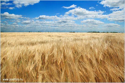 Hungary Szeged Aranyló Ringó Búzamező Wheat Field