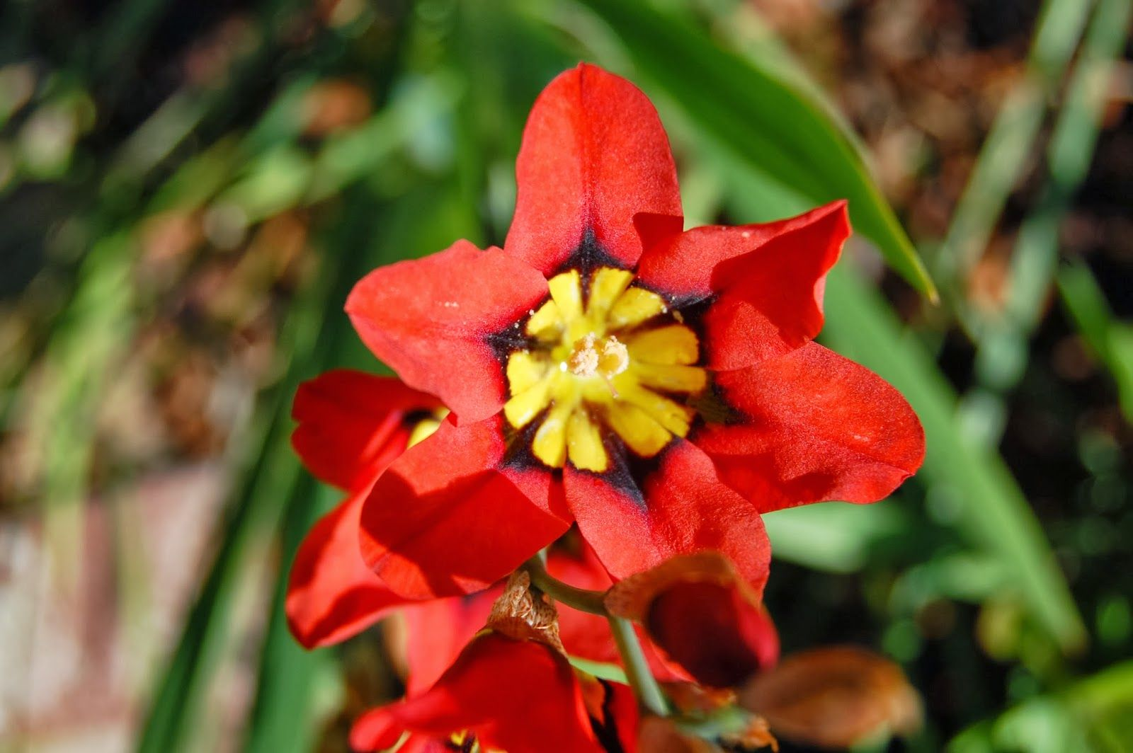 In Praise Of South African Bulbs