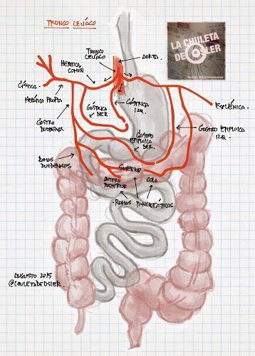 La Chuleta de Osler: Anatomía, Gastroenterología - Irrigación del ...