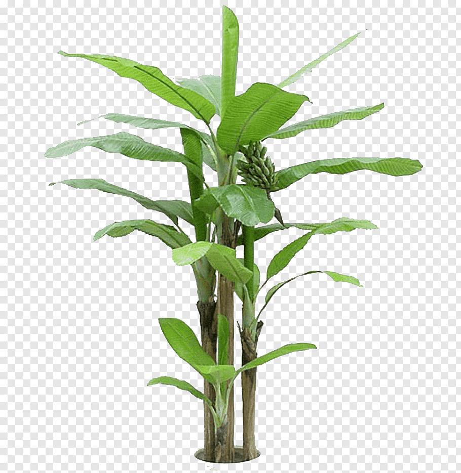Banana Plant Cooking Banana Tree Arecaceae Green Banana Leaves Free Png Banana Plants Potted Olive Tree Banana Tree