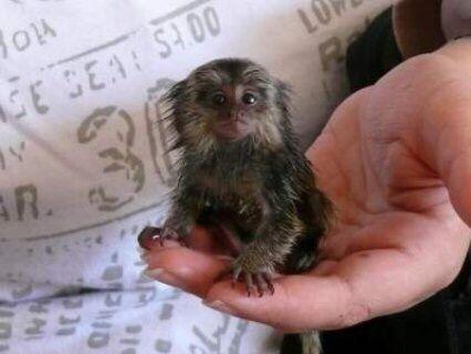 Pin By Nawalxa On Animals Pet Monkey Marmoset Monkey Super Cute Animals