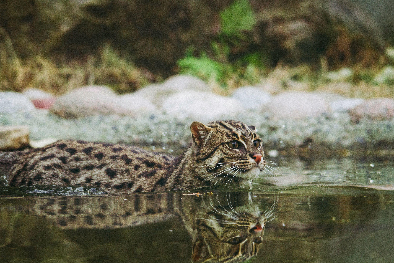 catinwater Wild cat species, Wild cats, Animals
