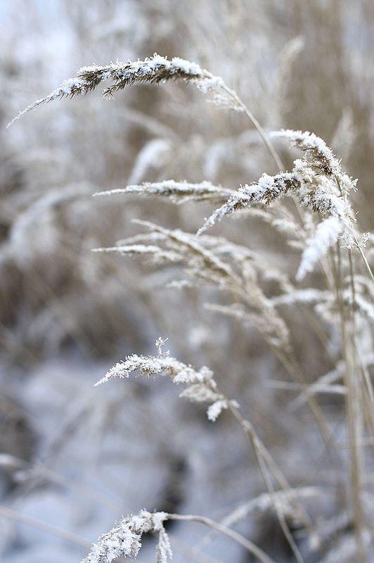~~  grain stems