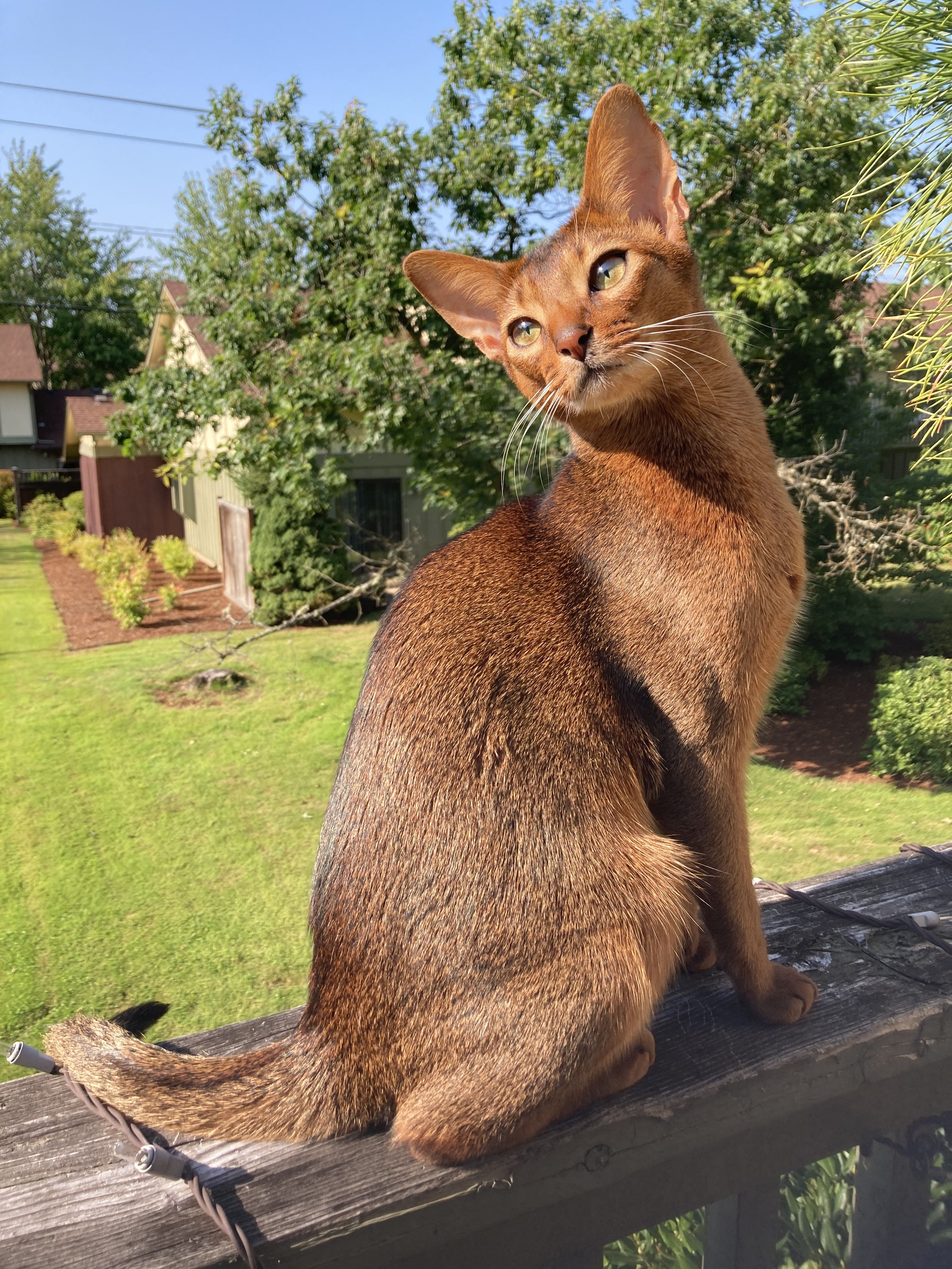 Pin On My Abyssinian Life
