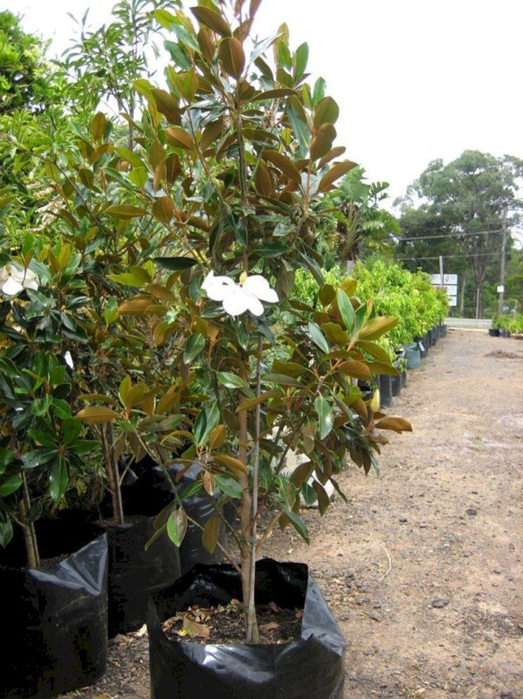 Little Gem Magnolia Hedge Ideas Magnolia Trees Landscaping Plants Planting Flowers