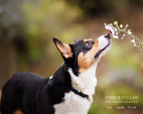 Sniffs A Flower Pembroke Welsh Corgi Corgi Dog Corgi Funny