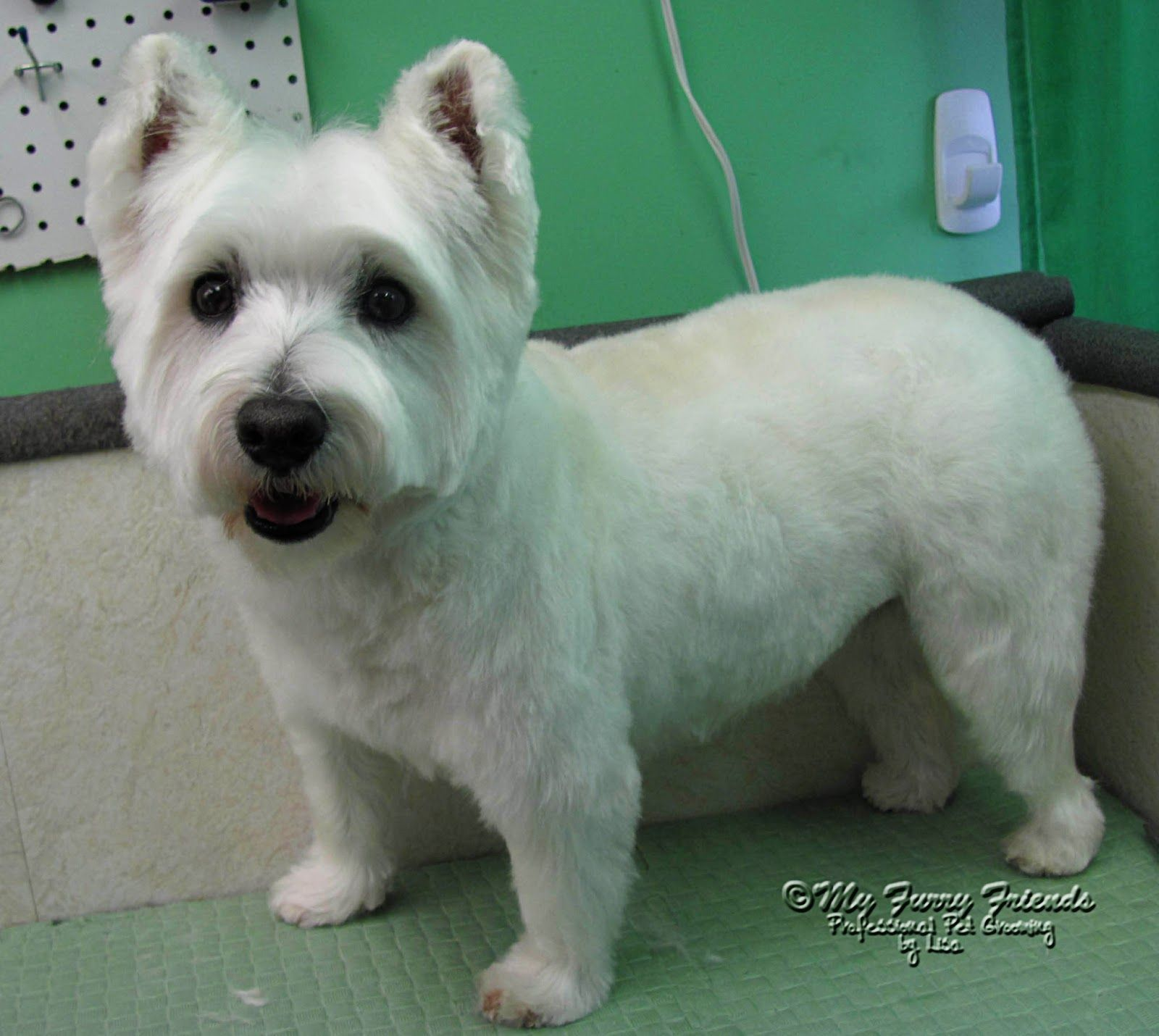 cairn terrier haircuts | fade haircut | cairn terriers | dog