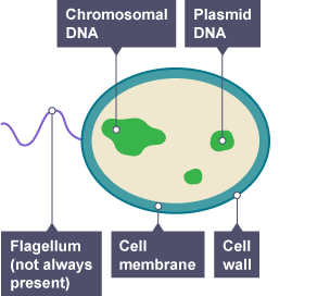 Bacteria cell, labelling chromosomal DNA, plasmid DNA ...