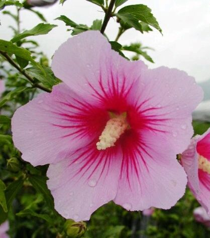 South Korea S National Flower 무궁화 Mugunghwa Rose Of Sharon