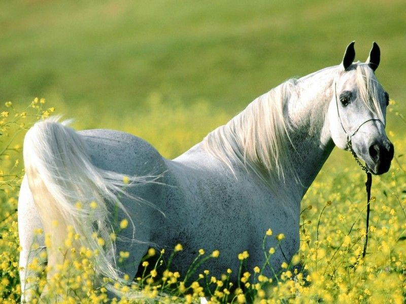 Un Pur Sang Arabe Blanc Dans Un Champ De Fleurs Les Plus Beaux Chevaux Animales Races De Chevaux
