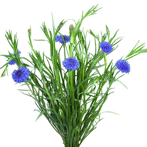 Blue Cornflowers Fiftyflowers Com Cornflower Flower Farm Purple Flowers