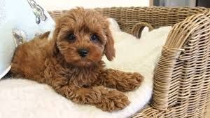 Image result for mini cavoodle fully grown Little dogs