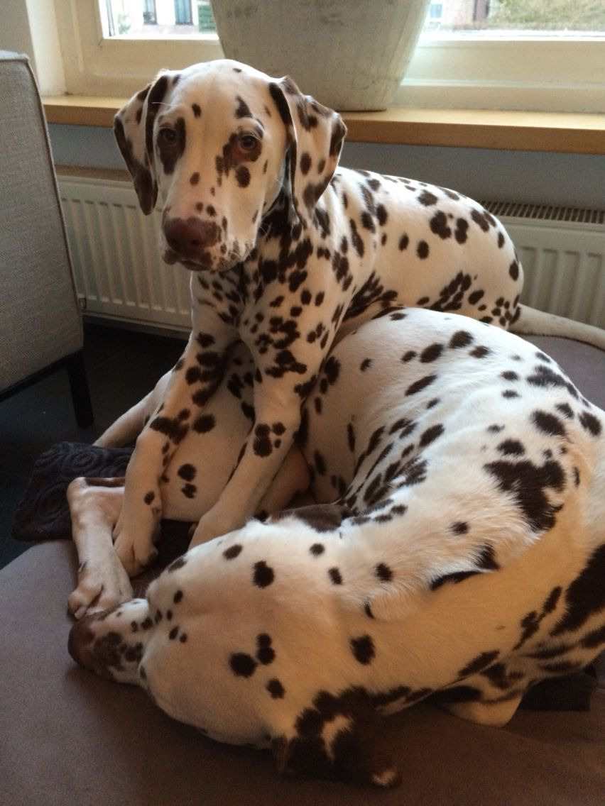 Wake Up And Play With Me Dalmatians Cat Vs Dog Pet Paws