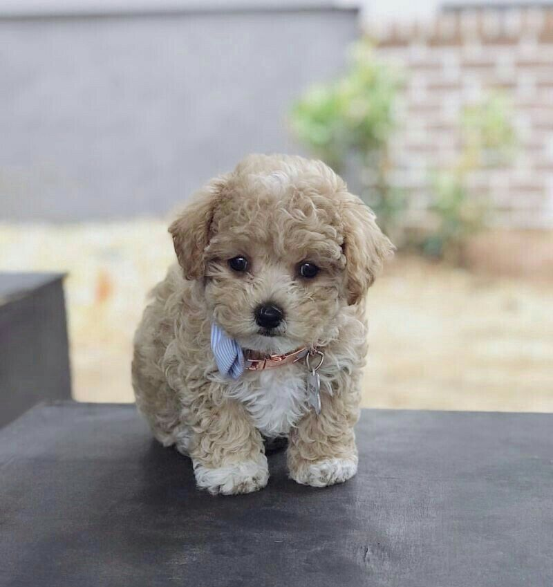 Pin By Enticing On Malti Poo Love Teacup Poodle Puppies