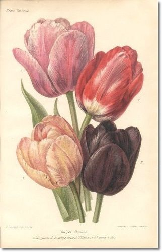 tulipanes - dibujo | tattoo | pinterest | tulipanes dibujo, dibujo