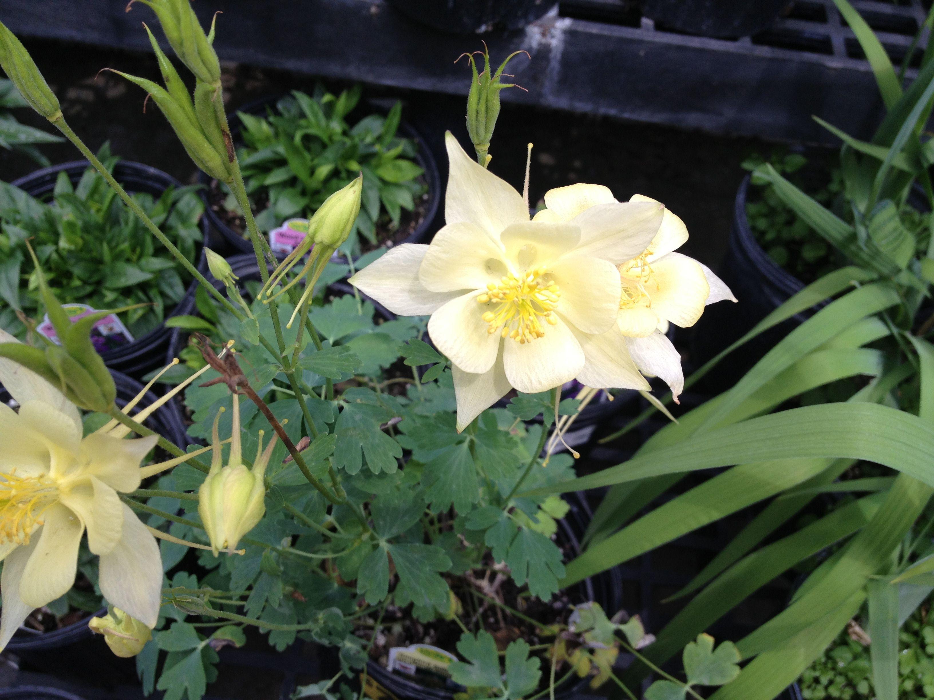 Columbine - thinking I should plant some.