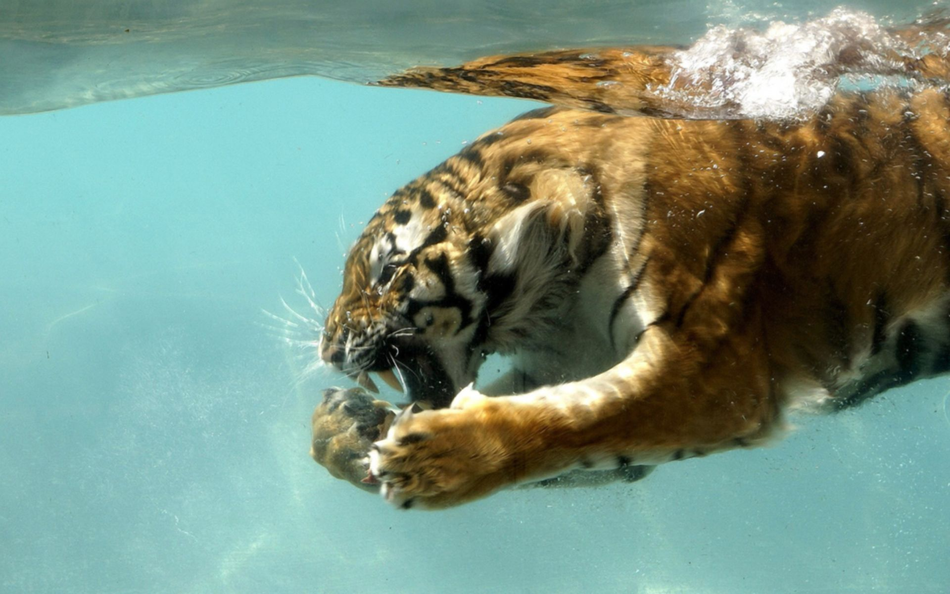Wallpapers Wallpaper Backgrounds Tiger Animal Water Tiger In Water Pet Tiger Tiger Pictures