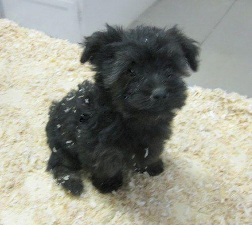 Adopt Yorkie Poo Puppies On Petfinder Yorkie Poo Puppies Yorkie