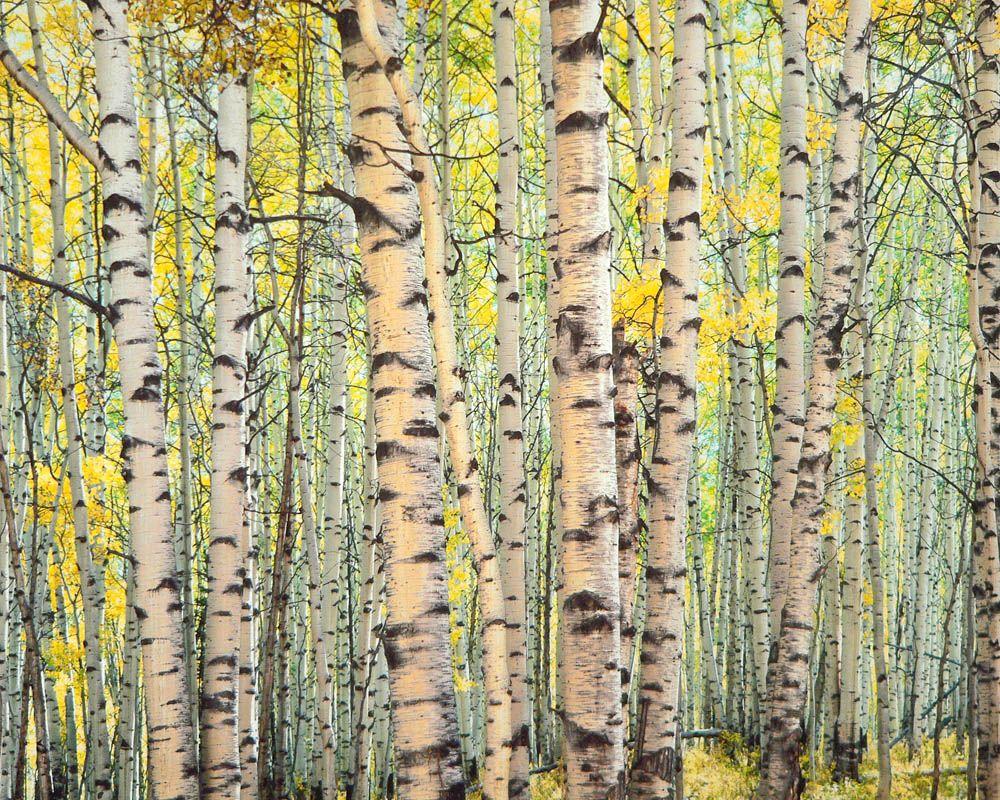 Trout Creek Aspen Forest, Colorado. Fine Art Photograph by ...