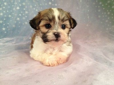 Teddy Bear Puppy Puppies Bichon Puppies For Sale Cute Baby Animals