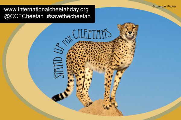 10 things you can do to help celebrate International Cheetah Day on December 4th